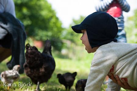 En liten pojke sitter ner, omgiven av svarta hönor.
