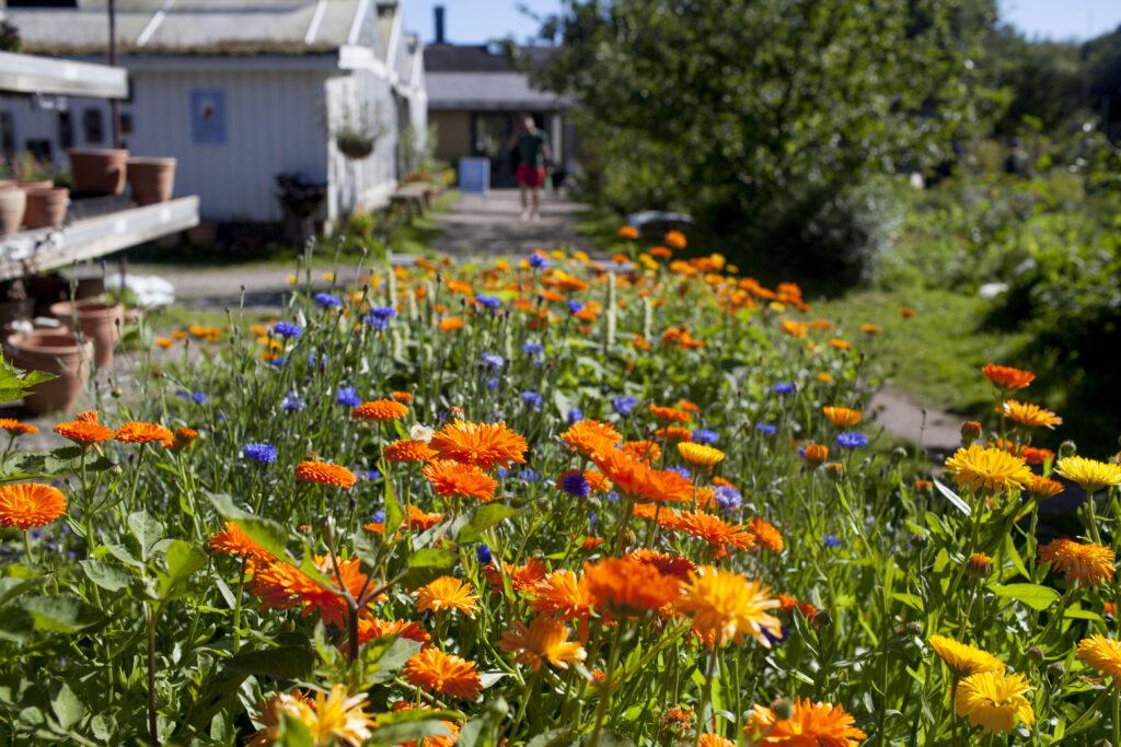 Växthus och prunkande blomsterrabatt på Kosters Trädgårdar
